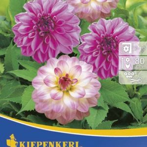 Vrtnarstvo Breskvar - Dahlia Duett Twilight+Lilac