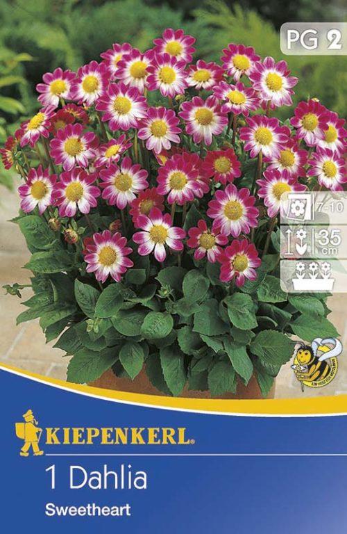 Vrtnarstvo Breskvar - Dahlia Sweetheart