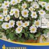 Vrtnarstvo Breskvar - Dahlia Topmix Weiss