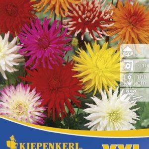 Vrtnarstvo Breskvar - Dahlien Kaktus Mix XXL
