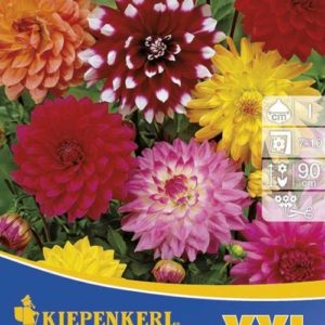 Vrtnarstvo Breskvar - Dahlia Schmuck Mix XXL