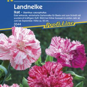Vrtnarstvo Breskvar - Dianthus caryophyllus Ikat