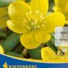 Vrtnarstvo Breskvar - Eranthis hyemalis
