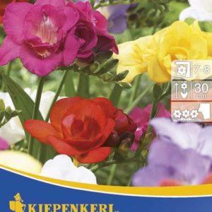 Vrtnarstvo Breskvar - Freesia Mix