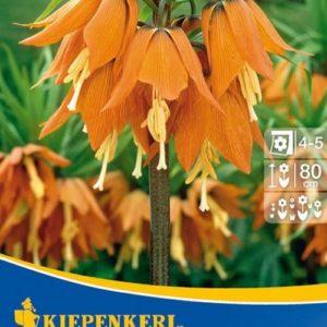 Vrtnarstvo Breskvar - Fritillaria Aurora
