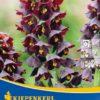 Vrtnarstvo Breskvar - Fritillaria persica