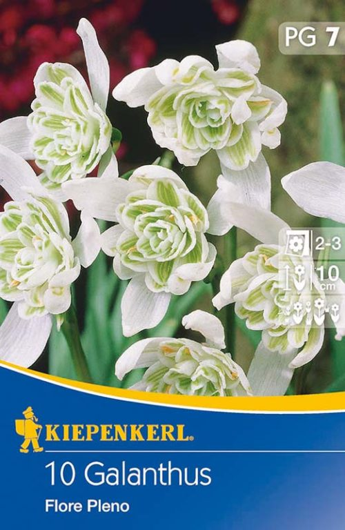 Vrtnarstvo Breskvar - Galanthus Flore Pleno