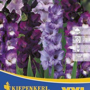 Vrtnarstvo Breskvar - Gladiolus Blaue Farben XXL