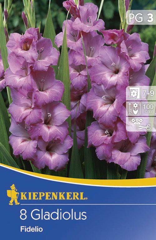 Vrtnarstvo Breskvar - Gladiolus Fidelio