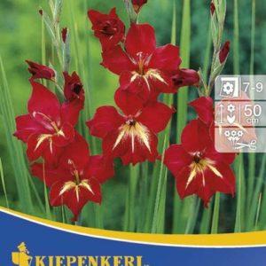 Vrtnarstvo Breskvar - Gladiolus nanus