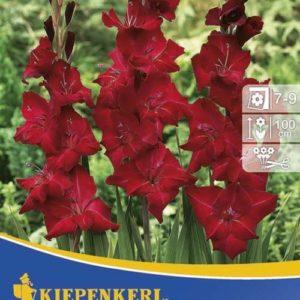 Vrtnarstvo Breskvar - Gladiolus Oscar