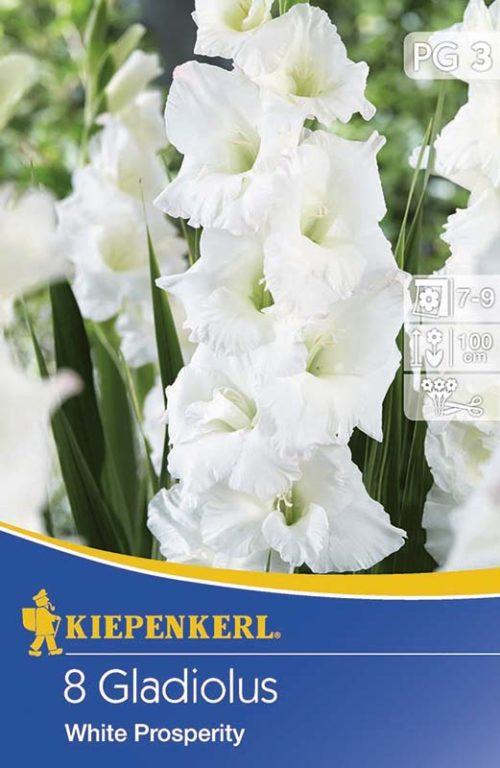 Vrtnarstvo Breskvar - Gladiolus White Prosperity