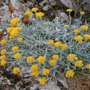 Vrtnarstvo Breskvar - Helichrysum italicum
