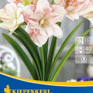 Vrtnarstvo Breskvar - Hippeastrum Elvas