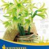 Vrtnarstvo Breskvar - Hippeastrum Evergreen