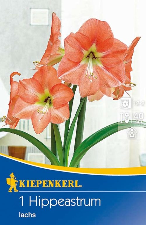Vrtnarstvo Breskvar - Hippeastrum Lachs