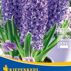 Vrtnarstvo Breskvar - Hyacinthus Blue Jacket