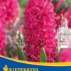 Vrtnarstvo Breskvar - Hyacinthus Jan Bos