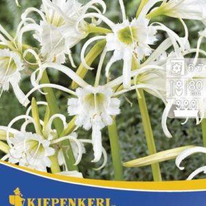 Vrtnarstvo Breskvar - Hymenocallis Festalis
