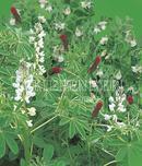 Vrtnarstvo Breskvar - Kiepenkerl Legume Mixture