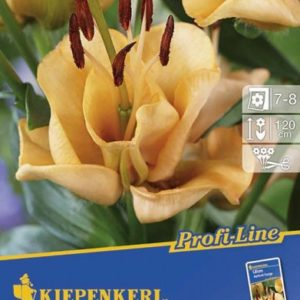 Vrtnarstvo Breskvar - Lilium Apricot Fudge