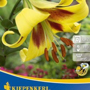 Vrtnarstvo Breskvar - Lilium Robert Swanson