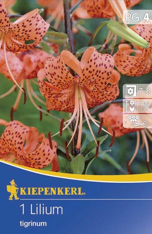 Vrtnarstvo Breskvar - Lilium tigrinum