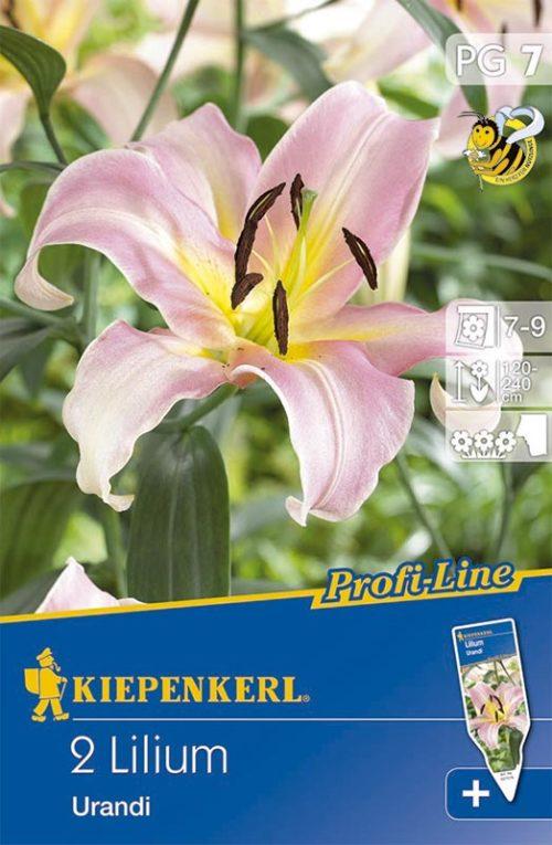 Vrtnarstvo Breskvar - Lilium Urandi