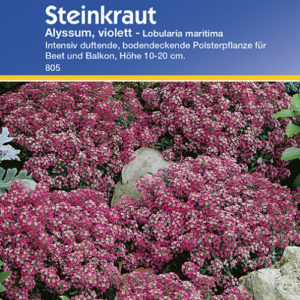 Vrtnarstvo Breskvar - Lobularia maritima Alyssum violett