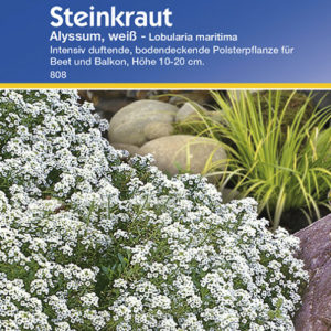 Vrtnarstvo Breskvar - Lobularia maritima Alyssum weiss