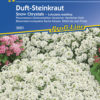 Vrtnarstvo Breskvar - Lobularia maritima Snow Crystals