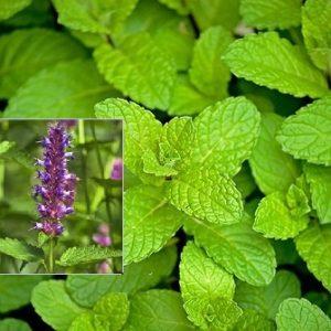 Vrtnarstvo Breskvar - Mentha piperita