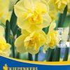 Vrtnarstvo Breskvar - Narcissus Yellow Cheerfulness