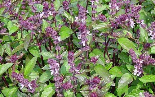 Vrtnarstvo Breskvar - Ocimum basilicum Cinamonette