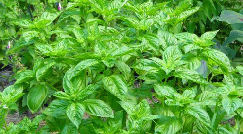 Vrtnarstvo Breskvar - Ocimum basilicum