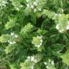Vrtnarstvo Breskvar - Ocimum basilicum Genovese