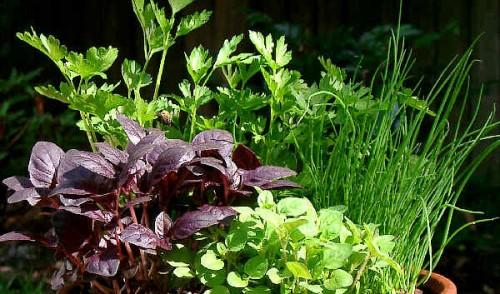 Vrtnarstvo Breskvar - Ocimum Basilicum Lemonette