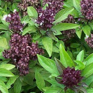 Vrtnarstvo Breskvar - Ocimum basilicum Thai siam Queen