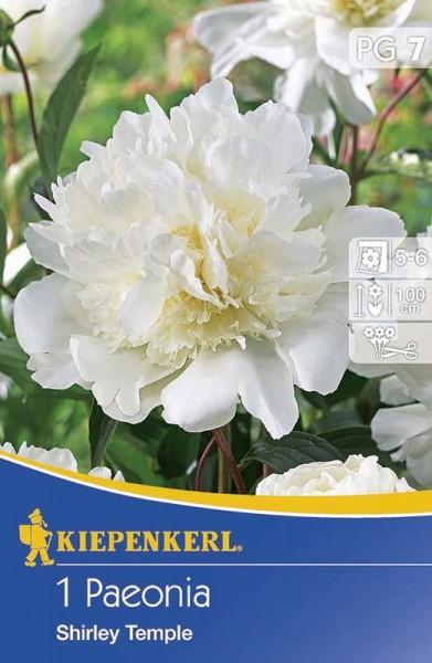 Vrtnarstvo Breskvar - Paeonia Shirley Temple