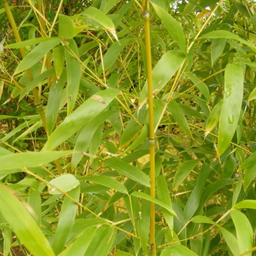 Vrtnarstvo Breskvar - Phyllostachys aurea
