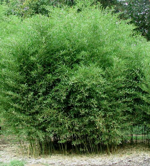 Vrtnarstvo Breskvar - Phyllostachys bissetti
