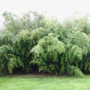 Vrtnarstvo Breskvar - Phyllostachys viridiglaucescens