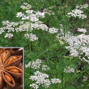 Vrtnarstvo Breskvar - Pimpinella anisum