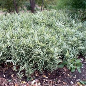 Vrtnarstvo Breskvar - Pleioblastus fortunei
