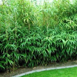 Vrtnarstvo Breskvar - Pseudosasa japonica