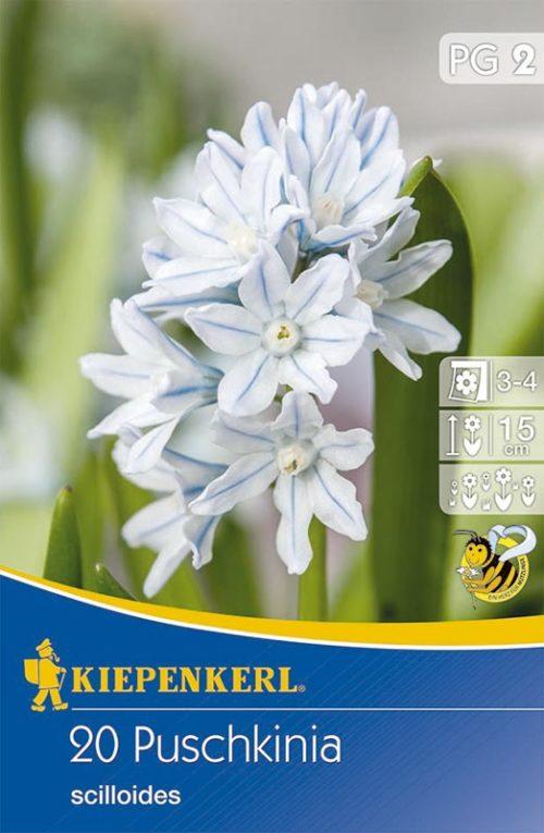 Vrtnarstvo Breskvar - Puschkinia scilloides