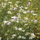 Vrtnarstvo Breskvar - Biotop - Rieger Hofman Flower Meadow