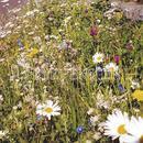 Vrtnarstvo Breskvar - Biotop - Rieger Hofman Traffic Island, Nutrient-Poor Locations In Public Areas