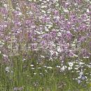 Vrtnarstvo Breskvar - Biotop - Rieger Hofman Wetland Meadow