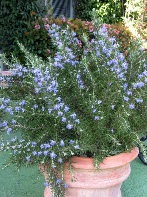 Vrtnarstvo Breskvar - Rosmarinus officinalis